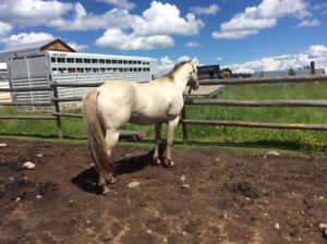 Big gorgeous grullo champagne AQHA gelding started in saddle.