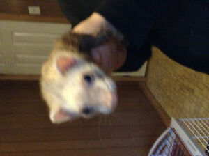 Two ferrets and cage need new home