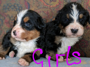 Purebred Bernese Mountain Puppies