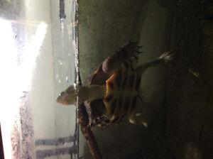 Chinese golden thread turtles
