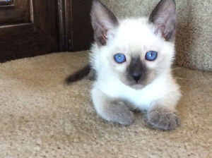 KITTENS siamese/ NEUTERED or spayed/ TRUE Appleheads