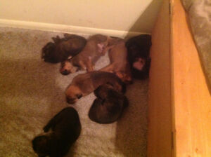 Boxer/Rottweiler puppies!