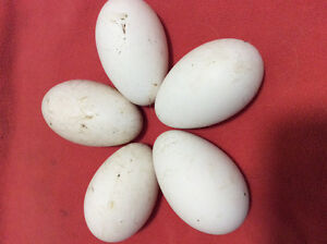 5 goose eggs for sale