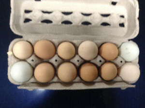 Good quality fertilized chicken hatching eggs for sale