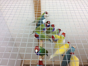 Young gouldian finches 2016