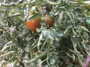 Tomatoes  and other produce