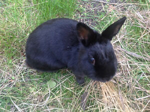 Female black dwarf rabbit