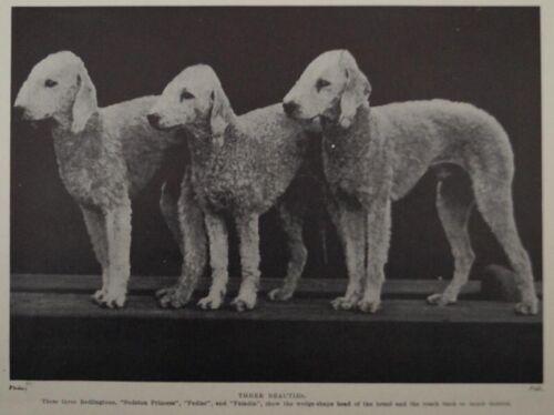 BEDLINGTON TERRIER DOG PHOTO PRINT - THREE BEAUTIES & A YOUTHFUL BEDLINGTON
