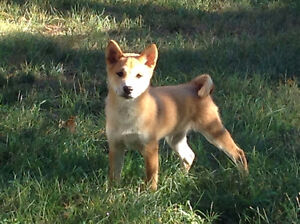 Red Shiba Inu puppy looking for new home