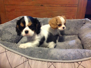 Cavalier King Charles Spaniel ( Only 2 Females left )