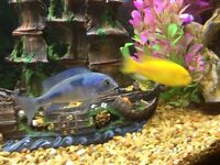 Electric Yellow and Blue Dolpin Cichlids