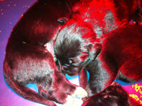 Golden Retriever x Bernese Mountain Dog for sale!