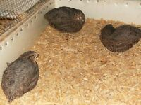 coturnix quail for sale