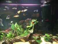Quick sale approx 30 community tropical fish