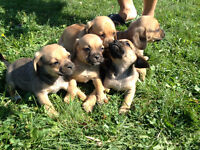 Puggle Puppies ---  Pug father and Beagle mother = Cute Pups ---