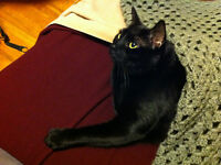 Black Cat Missing Near Cartier Blvd!