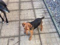 Terrier Lakeland x patterdale