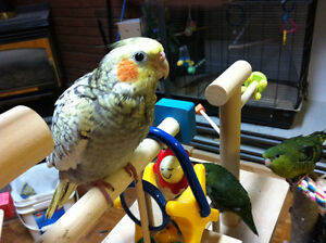 Beautiful and Very Tame Baby Pearl Cockatiel