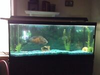 Tiger Oscar and 75 Gallon Tank for Sale
