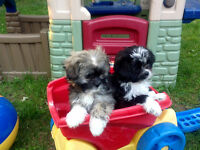 POMERANIAN x SHIH TZU x PAPILLON - VERY UNIQUE PUPPIES
