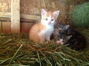 Magnifiques chatons de ferme à donner