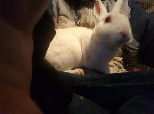 Charley The Mini Rex rabbit