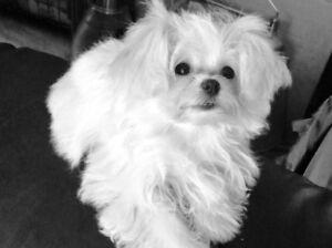 Beautiful Angel Shih Tzu x Pomeranian Puppy- ready for your home