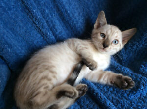 Snow  Lynx  Bengal Male Kittens Blue Eyes Pure / Delivery