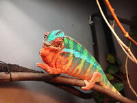 Ehchameleons !! Panthers and veileds