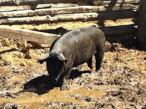 Young Female Pigs - Gilts