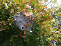 Wasps Nest Removal Vaughan and GTA  Starting From 65$ .
