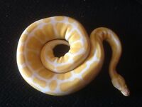 Python Royal Albino male