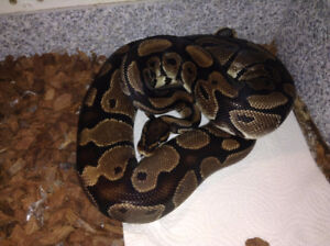 Ball Python, enclosure and all accessories for sale