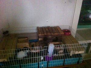 2 sweet male guinea pig buddies with cage & supplies