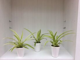 Indoor Plant - Spider Plant