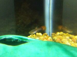 Fancy Guppies (Males and Females)