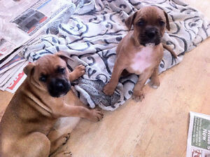 BOXER X Puppies - 2 Left !!!!