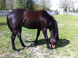 5 year old dark bay paint (no color) gelding for sale