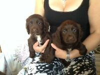 For sale cocker spaniel puppy's