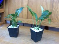 Indoor Plant - Peace Lily