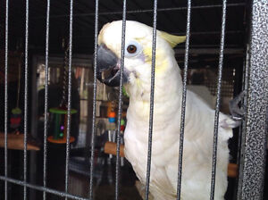 For sale beautiful, friendly cockatoo with cage