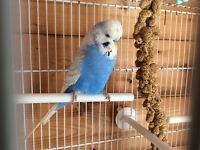 Male Budgie ( not hand tame )