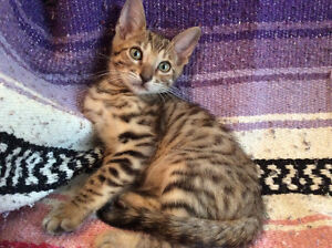 (: Chat/ Chaton male Bengal Brown Pure Race -Garanties