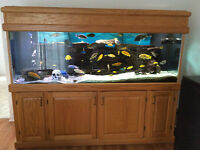 SOLID OAK 200 Gallon Aquarium tank, Cichlids and all accessories
