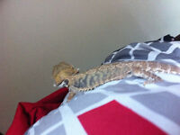 Bearded Dragon- High Coloured-Citrus Sub Adult Male