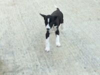 Collie cross lurcher puppy for sale