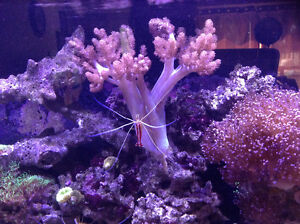 Coral for sale - Kenya Tree and Glove Polyps.