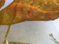 Pond fish free to good home; Koi ,Tench ,Orfe.