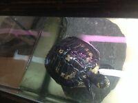 2x yellow belly slider turtles