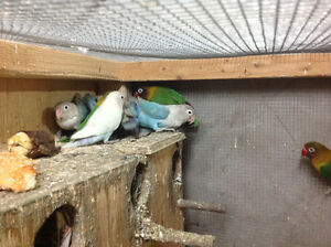 LOVEBIRDS FOR SALE FISCHERS AND BLACK MASK Sarnia Sarnia Area image 4